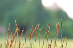 Close up a single white wild grass flower blossom with warm light. Green nature background stock photography