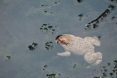 A fat white tropical frog sleeping in a swamp at the park with water background stock images