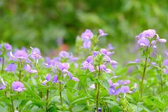 Purple flower blossom in a botanical garden at the park with green nature background stock photo