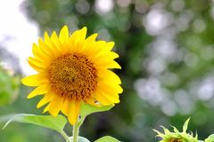 A Sunflower blossom in garden with sunlight stock images