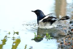 An oriental magpie robin bird playing in a water with circled waves royalty free stock photo