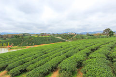 Green nature at Choui Fong Tea Plantation Royalty Free Stock Images
