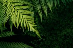 Green nature fern background. Freshness Green leaf of Fern, Place for text royalty free stock images