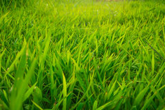 Green nature grass sun light soft focus background. Nature scene Royalty Free Stock Photos