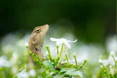 Green nature lizard Royalty Free Stock Photo