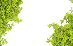 Green nature motive. Nature motive - wild-thyme on white background stock images