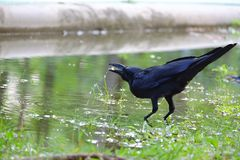 In selective focus a black crow drinking water from a puddle stock image