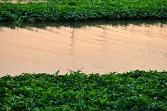 Waterplant growing on the river surface with water view at dusk time stock photography