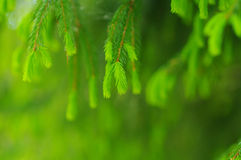 Green needle nature fresh Stock Photos