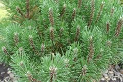 Green needles on branches of Pinus mugo stock image