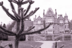 Green Needles conifer old mansion in blur background Royalty Free Stock Photography