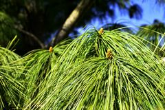 Green needles of conifers and young cones royalty free stock photography
