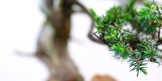Green needles of a juniper Juniperus rigida bonsai tree Stock Images