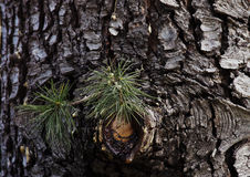Green needles and pine resin. Green needles and bark of pine resin Stock Images