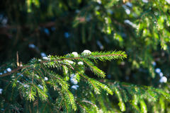 Green needles of spruce tree against dark green background Stock Photos