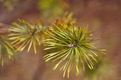 Green needles of young pines in spring stock photo