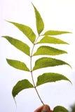 Green Neem Leaf Royalty Free Stock Image