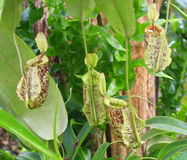 Green Nepenthes Royalty Free Stock Images