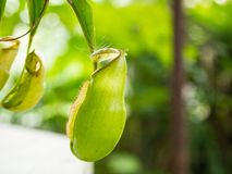 Green Nepenthes Mouth open slightly. Stock Photo