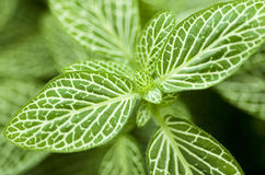 Green Nerve Plant Leaves Royalty Free Stock Image