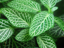 Green Nerve Plant Leaves Royalty Free Stock Photos