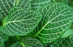 Green Nerve Plant Leaves Royalty Free Stock Photography