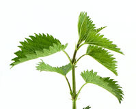 Green nettle. Isolated on white stock images