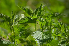 Green nettle. In the forest Royalty Free Stock Photography