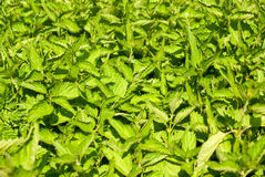 Green nettle Royalty Free Stock Image