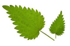 Green nettle. Fresh green nettle isolated on a white stock image