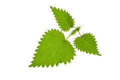 Green nettle Stock Photos