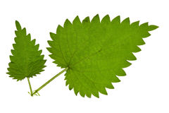 Green nettle. Fresh green nettle isolated on a white royalty free stock image