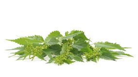 Green nettle with bloom. On a white background royalty free stock images