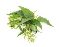 Green nettle with bloom. Green nettle with bloom on a white background royalty free stock photo