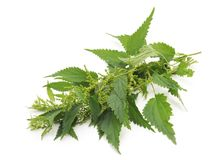 Green nettle with bloom. Green nettle with bloom on a white background stock photos