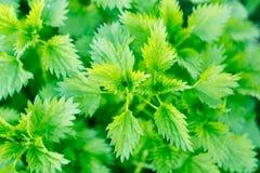 Green nettle bush Royalty Free Stock Photography