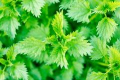 Green nettle bush Royalty Free Stock Images