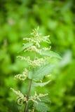 Green nettle flowering Stock Photography