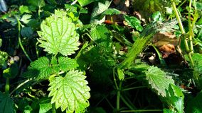 Green nettle in the forest. Green grass in the autumn forest Royalty Free Stock Photos