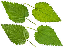 Green Nettle leaf Stock Image