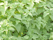 Green nettle leaves.Background. Royalty Free Stock Photo