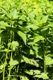 Green nettle leaves Stock Photo