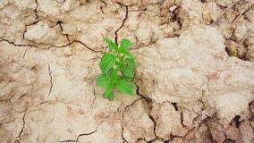 Green nettle plants grow in dry cracked clay soil in summer