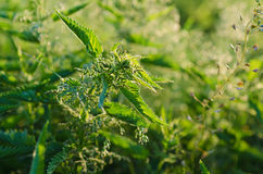 Green nettle plants stock photography