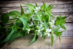 Green nettle standing Royalty Free Stock Image