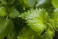 Green nettles Stock Images