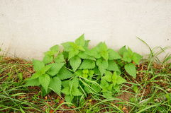 Green nettles Stock Photo