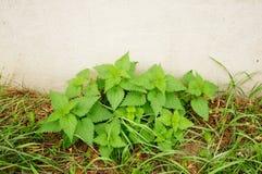 Green nettles Stock Photo