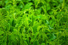 Green nettles Royalty Free Stock Images