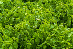 Green nettles Royalty Free Stock Photo